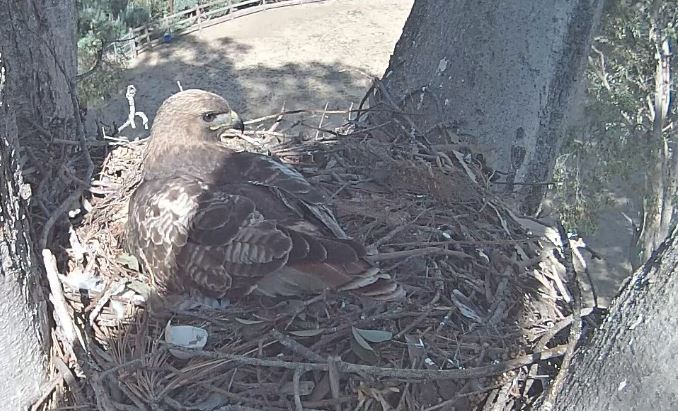 Check out the Live Red Tail Hawk Nest Webcam feed!